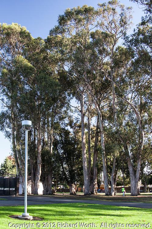 A passerby looks tiny next to the towering eucalyptus trees at Washington Manor Park in San Leandro, California.