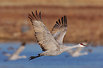 Sandhill Crane Morning Flyout Side Angle Close Portrait Bosque del Apache Wildlife Refuge New Mexico