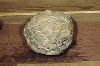 Gemeine Wespe, Gewöhnliche Wespe, Wespennest, Nest, Vespula vulgaris, Paravespula vulgaris, common wasp, yellowjacket, wasps' nest, vespiary