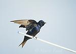 Purple Martin (Progne subis), male stretching its wings, Montezuma National Wildlife Refuge, New York, USA