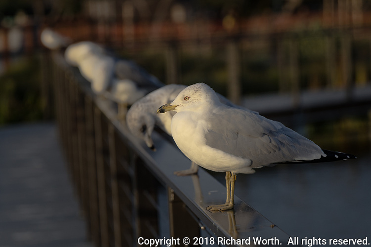 A Ring-billed gull, one of a half dozen or more gulls standing on the railing of the platform walkway over the water at the recently renovated San Lorenzo Park known as The Duck Pond.