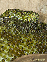 0430-1104  Mang Mountain Pit Viper (China Mangshan Pitviper), Only Non Cobra that Can Spit Venom, Zhaoermia mangshanensis (syn. Trimeresurus mangshanensis)  © David Kuhn/Dwight Kuhn Photography