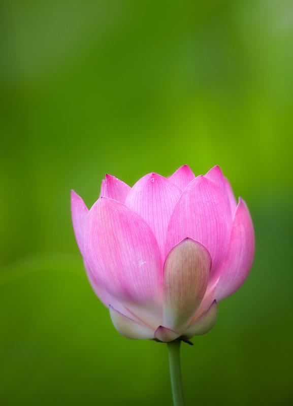 Close up of lotus blossom. Kauai, Hawaii