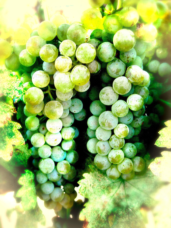 A bunch of green grapes on a vine