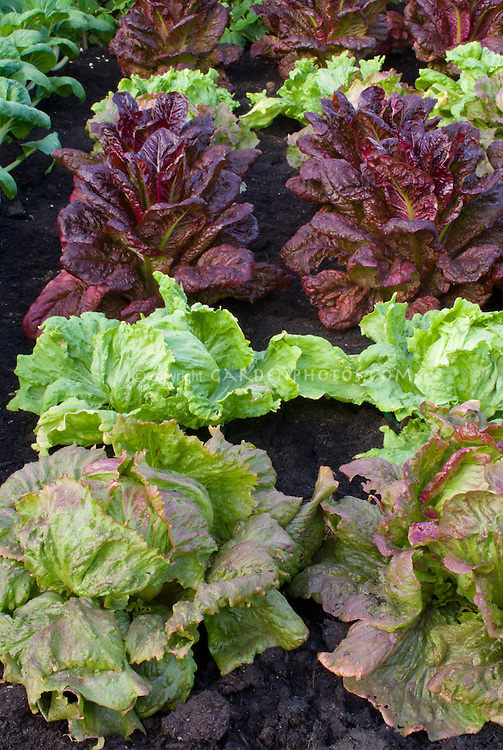 Types of lettuces mixed growing in garden including red, green, butterhead, crisphead, romaine, cos, looseleaf
