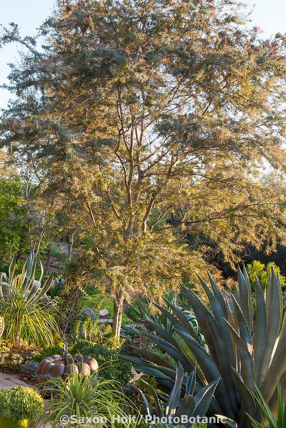 Acacia baileyana small tree in Debra Lee Baldwin garden with Agave americana