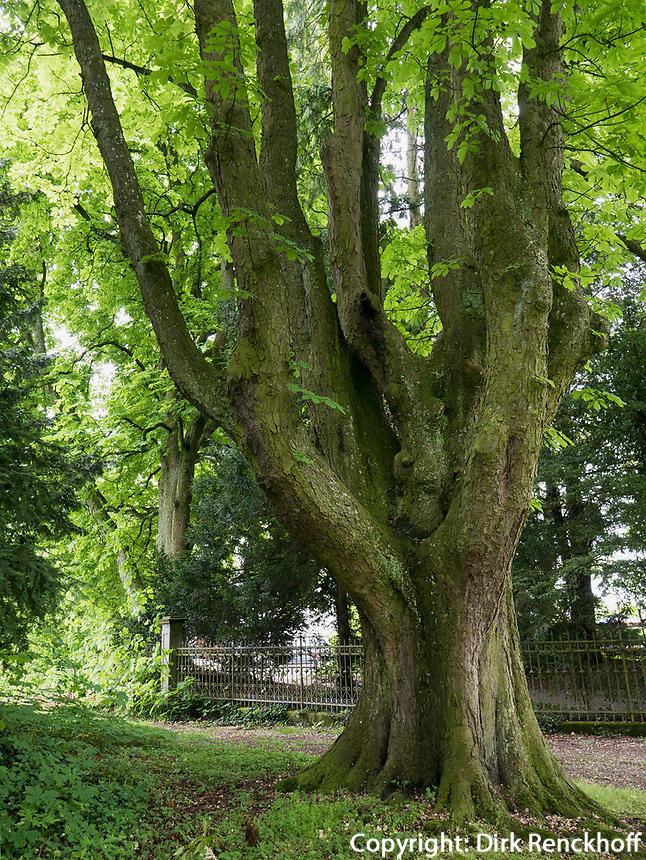 Arboretum im Seeburgpark Kreuzlingen, Kanton Thurgau , Schweiz<br /> Arboretum in Seeburgpark Kreuzlingen, Canton Thurgau, Switzerland