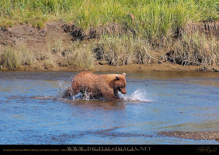Alaskan Coastal Brown Bear Catching Salmon, Silver Salmon Creek, Lake Clark National Park, Alaska