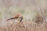 Fiesta Island, San Diego, California; an American Kestrel feeding on a mouse while perched on top of a tumble weed in late afternoon cloudy conditions