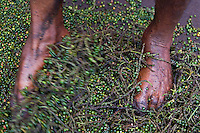 Wayanad, Kerala, India, April 2008. A man seperates the green peppercorns by stomping on them. The local church has it own coffee and black pepper production. The Wayanad district of Kerala offers wildlife viewing opportunities, an insight into tribal culture evocative of earlier centuries, trekking and other adventure activities. Photo by Frits Meyst/Adventure4ever.com