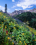wildflowers in Yankee Boy Basin, summer morning near Ouray, Rocky Mountains, Colorado, USA