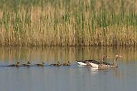 Greylag Goose, Anser anser, National Park Lake Neusiedl, Burgenland, Austria, April 2007