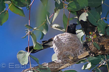 Willie Wagtail on nest made of spider silk in eucalypt tree, Nanangroe Rd, near Gundagai, NSW