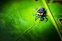 Beetle in the Choco Rainforest, Ecuador. This area of jungle is the Mashpi Cloud Forest in the Pichincha Province of Ecuador, South America