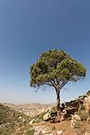 T-003 Pine tree in Ein Kinia