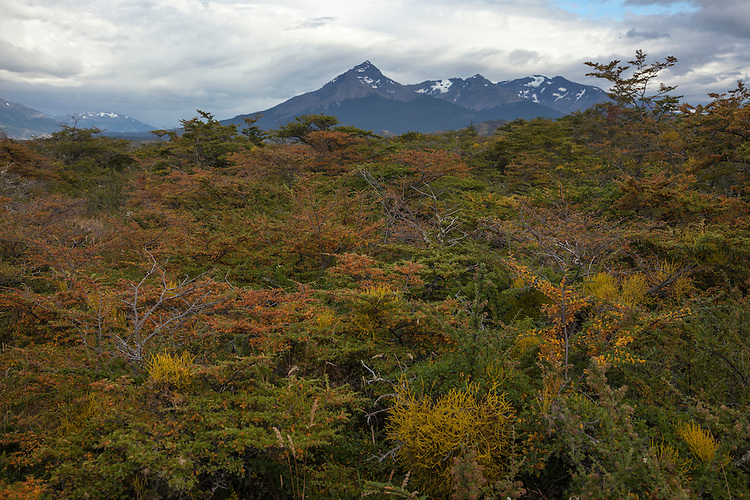 On the edge of Torres del Paine, beech forests display a colorful palette of subtle colors.
