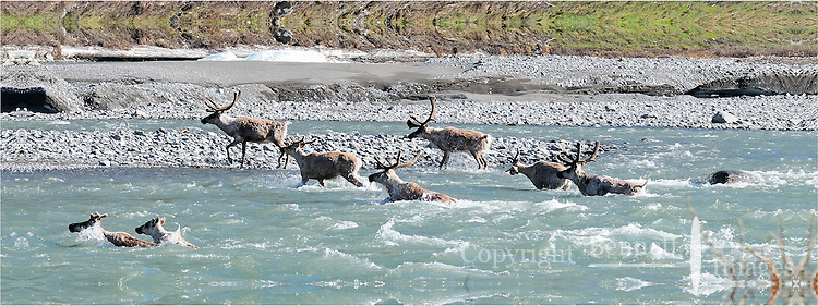 A line of Caribou crosses the Kongakut River, in Alaska's Arctic National Wildlife Refuge.