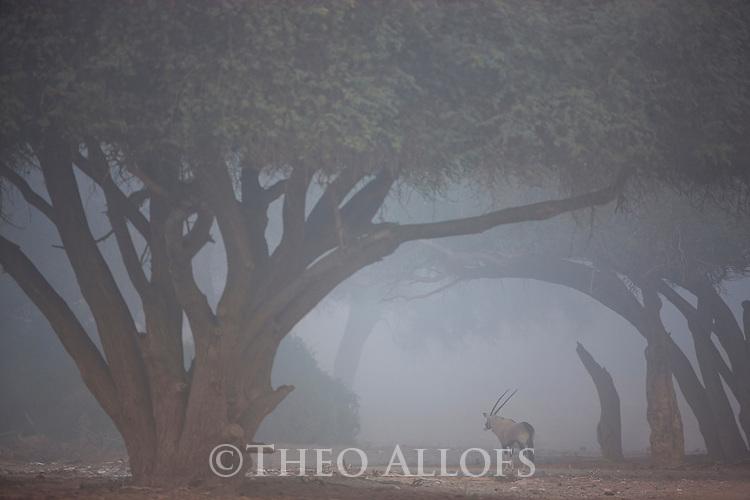 Namibia;  Namib Desert, Huab River, Skeleton Coast oryx antelope (Oryx gazella), walking in lower Hoanib River valley, coastal fog moving inland