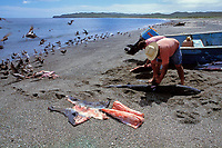 fishermen butcher blue sharks, Prionace glauca, Mexican shark fishery, Isla Magdalena, Baja, Mexico, Pacific Ocean