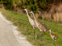 Pair of Sandhill Cranes walking with their Chick in Down feathers