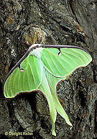 LE10-031x   Luna Moth - male adult with large antennae - Actias luna