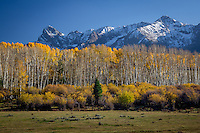 Aspen trees turn a bright yellow in the San Jaun Mountains near Telluride Colorado.