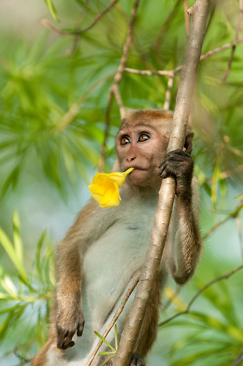 A juvenile Toque Macaque sucks nectar from the flowers of nerium oleander. Archaeological reserve, Polonnaruwa, Sri Lanka. IUCN Red List Classification: Endangered