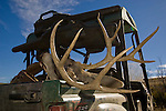 Mule deer buck in cargo bed of Yamaha UTV side-by-side