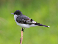 Adult eastern kingbird