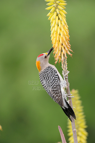 Golden-fronted Woodpecker (Melanerpes aurifrons), male feeding from Torch Lily, Red Hot Poker (Kniphofia sp.), Laredo, Webb County, South Texas, USA