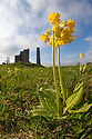 Cowslips {Primula veris} growing on abandoned lead mine, Peak District National Park, Derbyshire, UK. May.