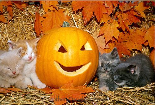 Four kittens sleep beside fall Halloween pumpkin an dmaple leaves, Missouri USA