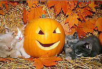 Four kittens sleep beside fall Halloween pumpkin an dmaple leaves, Missouri USA