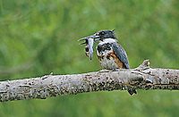 Belted Kingfisher, Megaceryle alcyon,young with Catfish, Starr County, Rio Grande Valley, Texas, USA, April 2002
