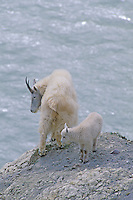 Mt. Goat with kid, Alberta, Canada