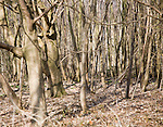 Dense growth of trees with carpet of brown leaf litter in woodland, Alderton, Suffolk,