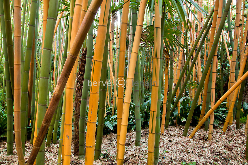 France, Alpes-Maritimes (06), Saint-Jean-Cap-Ferrat, le jardin botanique des Cèdres:.bambou, Phyllostachys // France, Alpes-Maritimes, Saint-Jean-Cap-Ferrat, the botanical garden les Cèdres(Cedars): bamboo, Phyllostachys