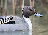 The northern pintail is one of the more handsome waterfowl species found at Reifel in winter.