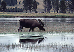 Bull moose in the Yellowstone River