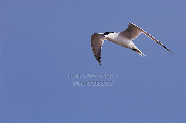 Gull-billed Tern, Sterna nilotica, adult in flight, Willacy County, Rio Grande Valley, Texas, USA, June 2006