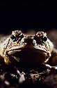 Face of Cane Toad (Bufo marinus) a large male. Introduced to Queensland, Australia