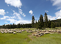 A large flock of sheep graze in a grassy mountain meadow. Stock photography by Olympic Photo Group