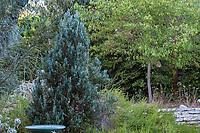 Blue foliage juniper; Arlington Garden, Pasadena