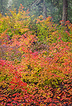 Willamette National Forest, OR: Colorful autumn colors of vine maple (Acer circinatum) and red-osier dogwoods (Cornus stolonifera)