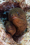 Gymnothorax miliaris, Goldentail moray, Florida Keys