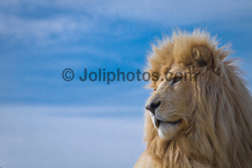 Thursday July 9, 2010. White Lion. Seaview Game and Lion Park has a unique 180 degree view of the Indian Ocean and is set in pristine coastal bush land. It is home to the White lion, giraffe, wilderbeest, zebra, antelope, jackle, meerkat and lynx. The park also has tigers and crocodiles. It is situated 20 minutes drive south of Port Elizaberth, Eastern Cape, South Africa.  Photo: joliphotos.com