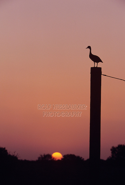 Black-bellied Whistling-Duck, Dendrocygna autumnalis,adult at sunset on gate post, Welder Wildlife Refuge, Sinton, Texas, USA, June 2005