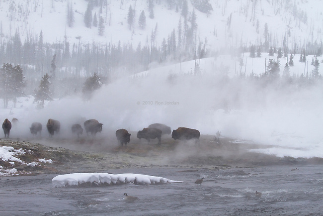Bison herd in Yellowstone winter
