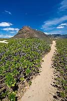 A hiking trail through naupaka kuahiwi (native vegetation) at Ka'ena Point, the Waianae mountain range, West O'ahu.