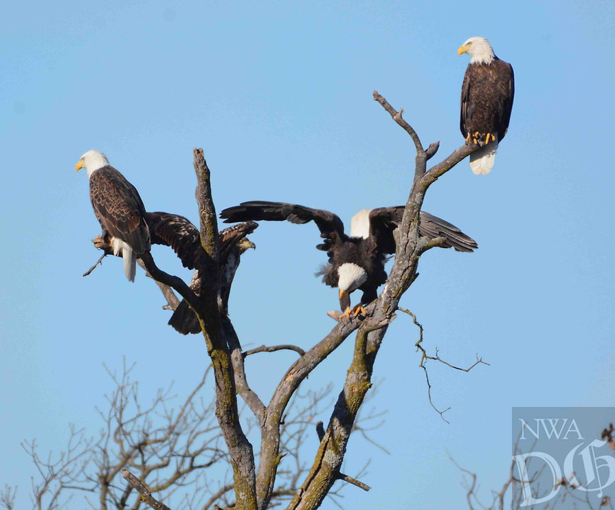 Courtesy photo/TERRY STANFILL<br />EAGLE PERCH<br />Bald eagles are seen in western Benton County. Terry Stanfill of the Decatur area took the picture Dec. 7 near his home.